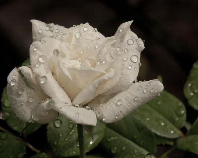Фото - Біла троянда - сонник. Букет з білих троянд. Тлумачення снів